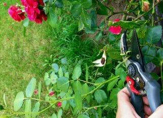 Jak przycinać róże?