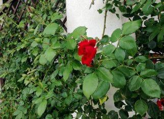 Letnie cięcie róż
