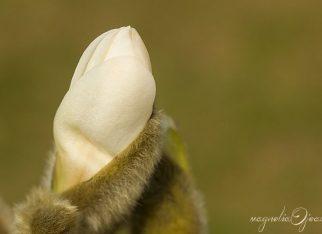 Magnolia biała - pąk