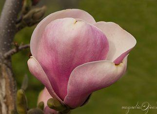 Magnolia - kwiat