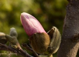 Magnolia różowa - pąk