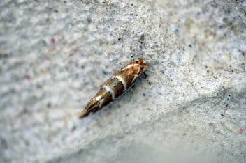 Szrotówek kasztanowcowiaczek - szkodnik