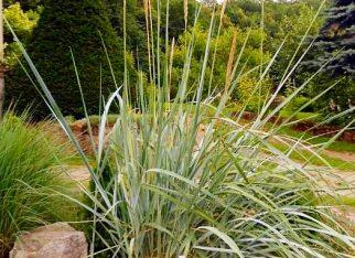 Trawa ozdobna - wydmuchrzyca