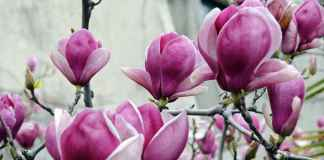 Jak dbać o magnolie?